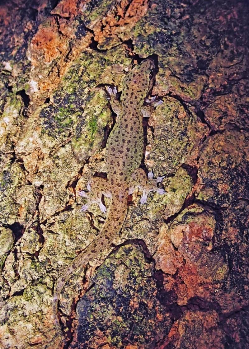 多年來第一次清楚拍攝到的截趾虎成熟個體,分佈在壽山動物園附近。(小橙拍攝)