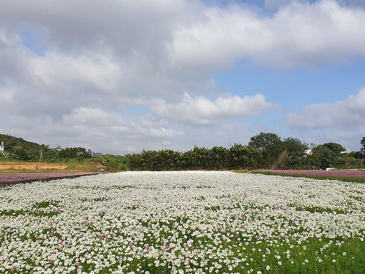 桃園花彩節楊梅展區目前已有草花綻放。(市府農業局提供)