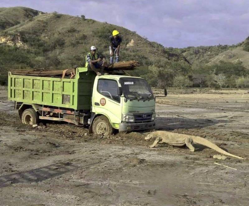 近日一張大型科摩多巨蜥阻擋在卡車前的照片在網路上瘋傳。(圖擷自Twitter)