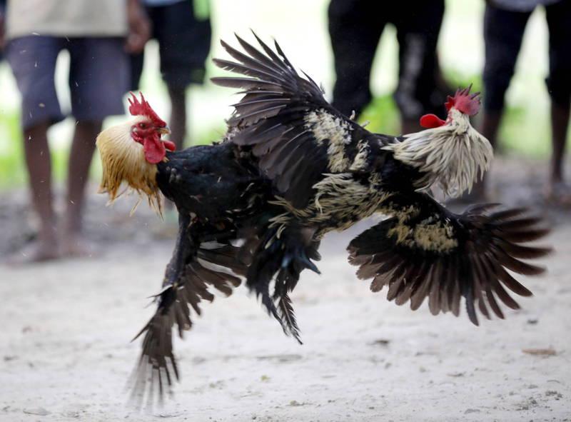 菲律賓警方查緝鬥雞 竟有警官慘死鬥雞腳下