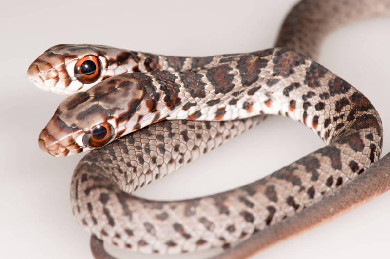 美國佛羅里達州一名飼主驚見愛貓送上罕見「雙頭蛇」作為禮物。(圖翻攝自「FWC Fish and Wildlife Research Institute」臉書)