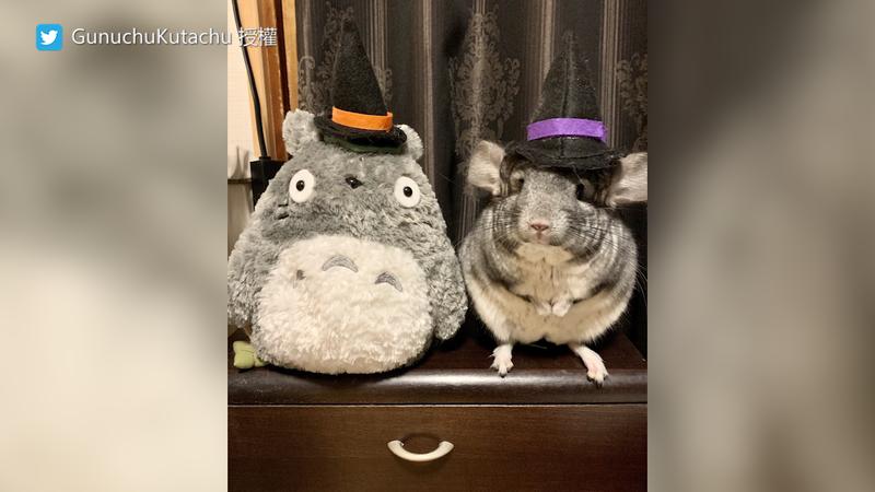Gunu灰白色的外型,和吉卜力的龍貓極為相似。(圖片由Twitter帳號GunuchuKutachu授權提供使用)