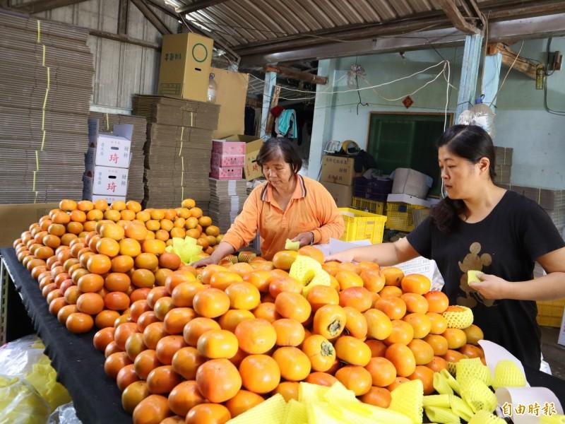 摩天嶺甜柿已進入產期,目前採收品種為「花御所」,果形較圓。(記者歐素美攝)