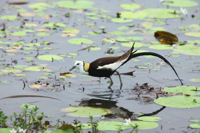 台南官田水雉園區保育有成,今夏鳥調水雉有1141隻。(水雉園區提供)