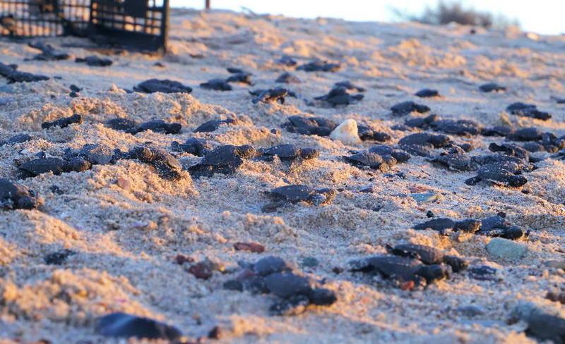 圖攝於本月27日,墨西哥索諾拉州皮蒂奎托市海灘有大批超萌的欖蠵龜寶寶孵化,努力向大海爬去。(歐新社)
