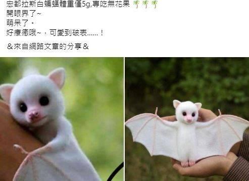 畫面中可見一隻看起來相當可愛的蝙蝠,渾身白毛,唯有耳朵、鼻子翅緣以及腳趾是淡粉色。(圖擷取自查核中心網頁)