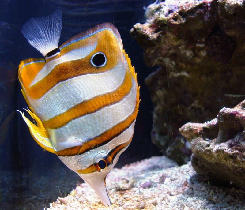 真正的蝴蝶魚泛指熱帶魚,是近海暖水性小型珊瑚礁魚類。萊昂納多·斯塔比勒(Leonardo Stabile)攝。(圖取自維基百科公共領域作品)