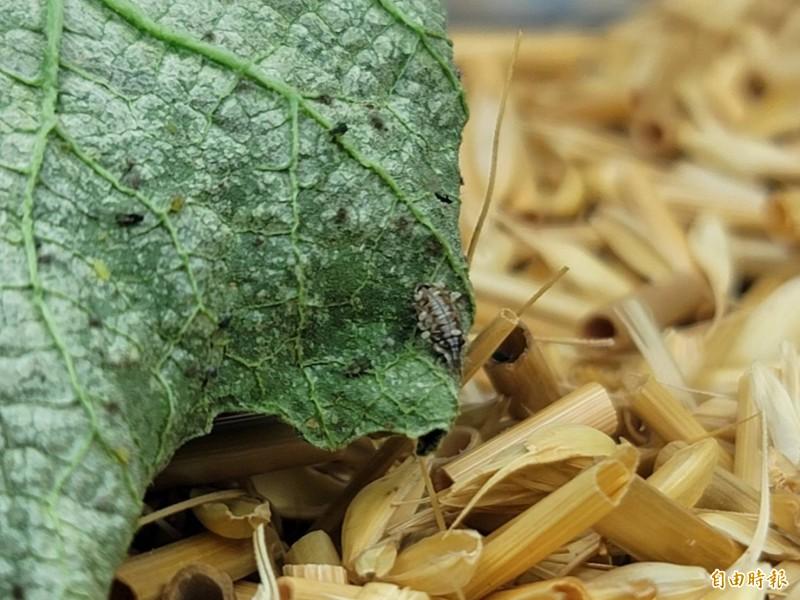 「基徵草蛉」的幼蟲會吃蚜蟲、粉蝨、木蝨、葉蟎及介殼蟲等小型害蟲。(記者彭健禮攝)