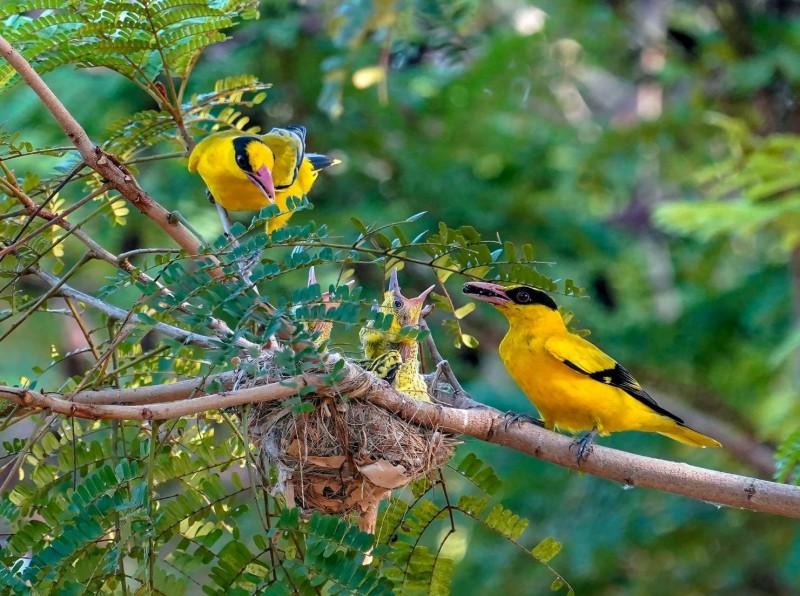 這對黃鸝春季時雛鳥被偷,竟然在秋季重新下蛋、育雛,親情的偉大讓鳥友驚嘆不已。(拍鳥俱樂部吳素娥/提供)