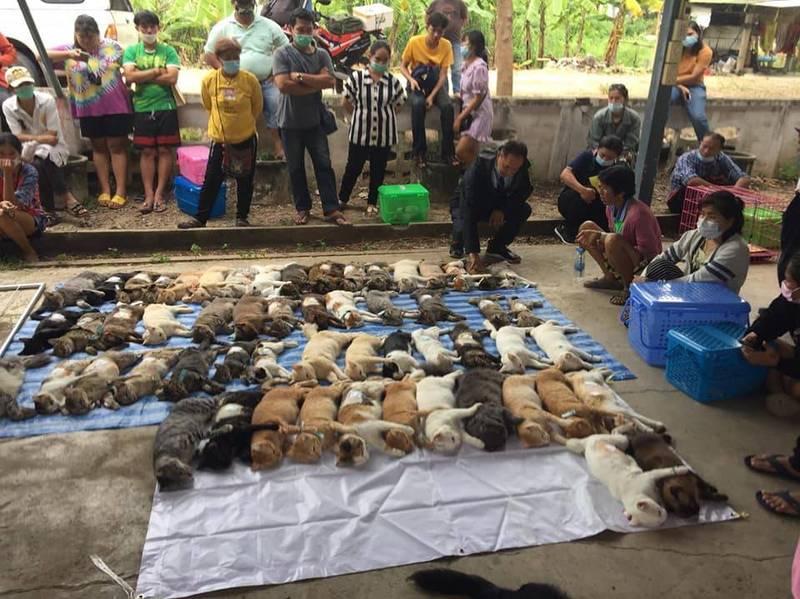 泰國那空巴統府(佛統府)政府為了推行「貓咪結紮」,特別舉辦一場免費替愛貓結紮、犬隻施打狂犬病疫苗活動。(圖擷自สำนักงานปศุสัตว์อำเภอนครชัยศรี)