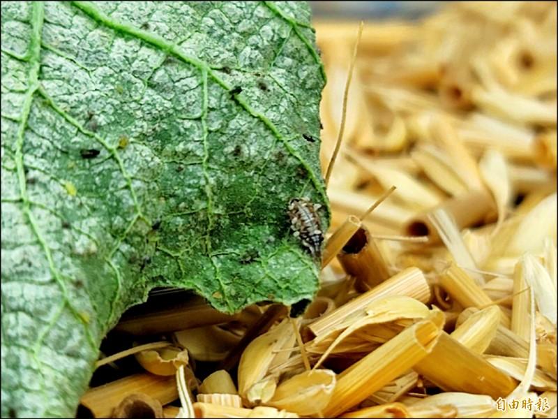 基徵草蛉的幼蟲,會吃蚜蟲等小型害蟲。 (記者彭健禮攝)