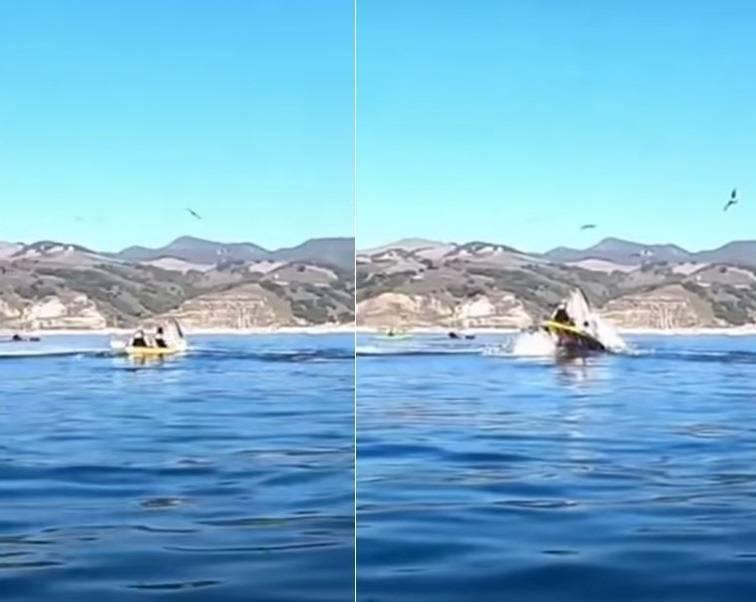 朱莉憶述,當下她先是看到身下突然出現一個餌魚球向水面逃竄,接下來鯨魚的整張大嘴就出現在她們兩人面前,將整艘皮艇罩住。(本報合成照,擷取自YouTube)