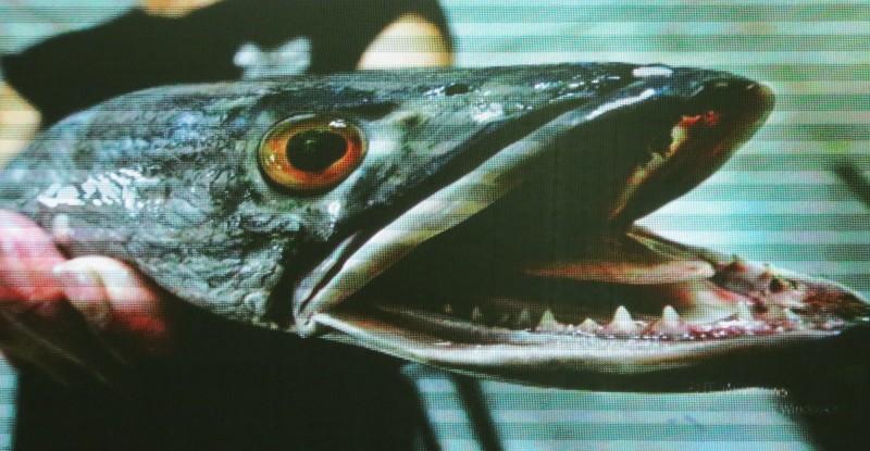 南投縣議員王秋淑表示,日月潭有些魚虎重達20公斤,非常兇猛嚇人。(記者張協昇翻攝)