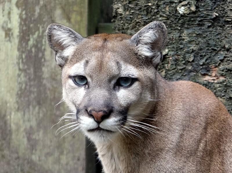 美洲獅在分類學中,是體型最大的貓亞科(小型貓科動物,簡稱小貓)動物。(台北市立動物園提供)