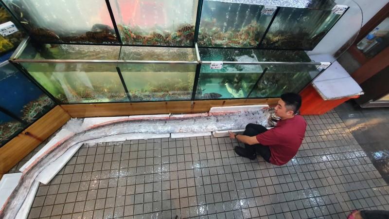 長約490公分的皇帶魚,重量約45公斤。(記者林敬倫翻攝)