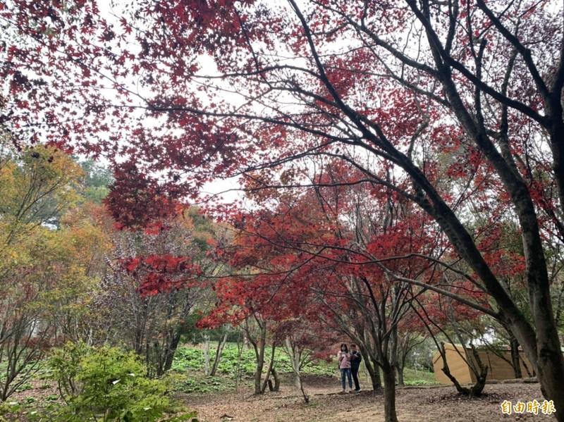 福壽山農場楓紅了,民眾看到場景驚呼:好像出國。(記者唐在馨攝)