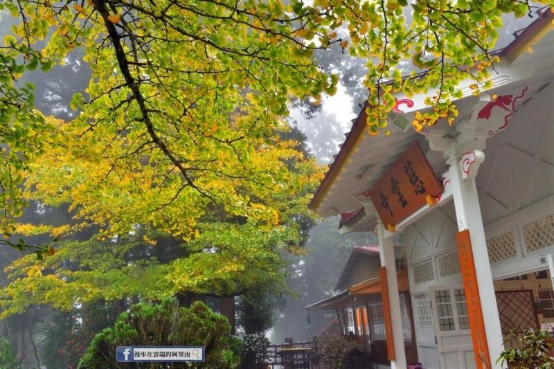阿里山慈雲寺的銀杏開始變色了。(黃源明提供)