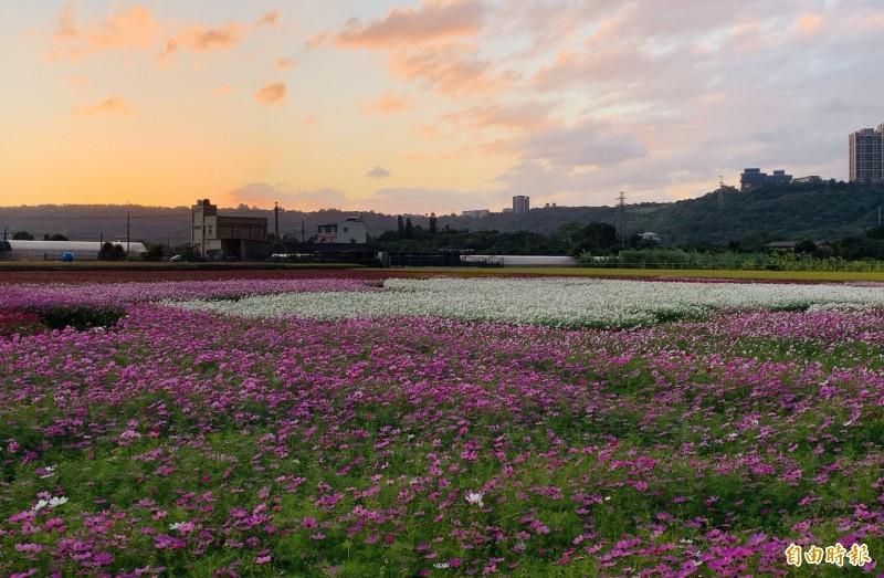 花都開好了!桃園花彩節大溪場打造美麗花海。(記者李容萍攝)