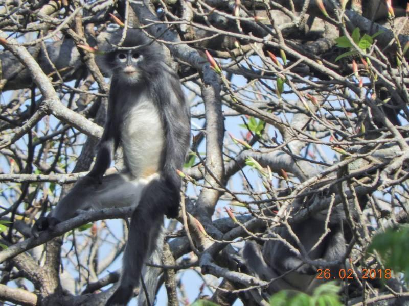 「波巴葉猴」2018年才被鏡頭捕捉到身影。(法新社)
