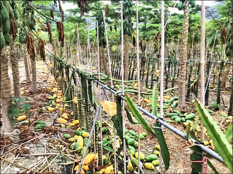 劉男與父親種植的木瓜被割落一地,損失慘重。 (記者歐素美翻攝)
