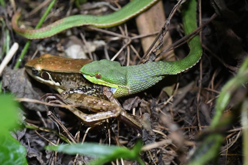 青竹絲屬於樹棲型毒蛇。(讀者林高本提供)
