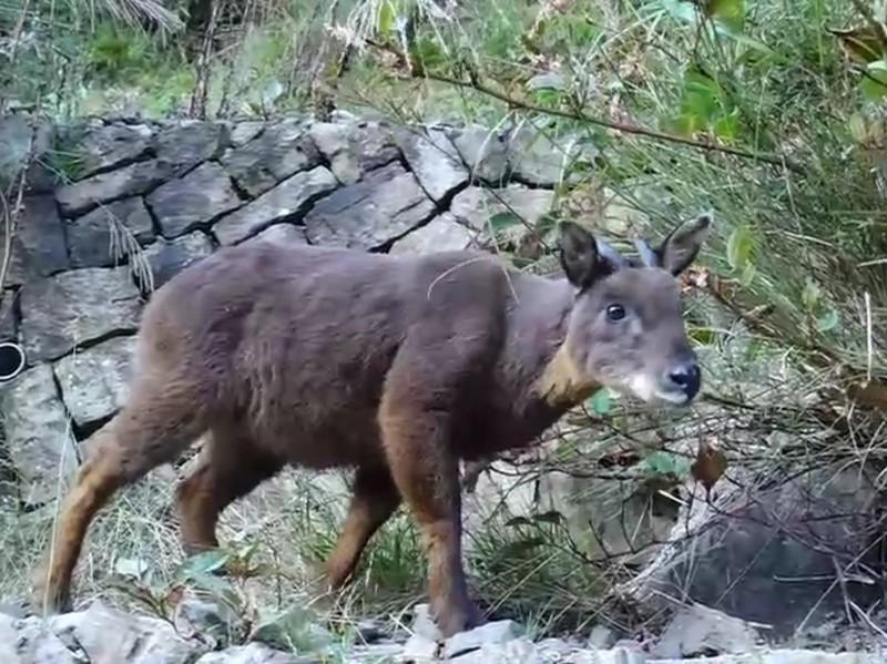 玉管處人員近期在塔塔加玉山登山口約三、四百公尺的步道上,直擊台灣野山羊吃樹葉。(玉管處提供)
