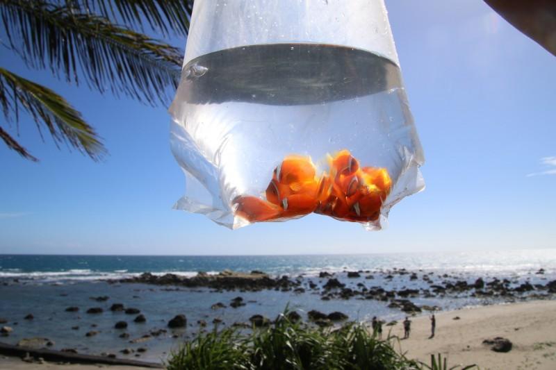 等待放流的小丑魚。(記者黃明堂翻攝)