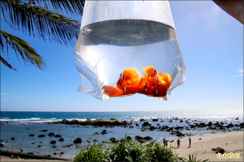 小丑魚是礁岩區生態系統最基層的消費者,可以讓海葵、珊瑚礁更美麗。(記者黃明堂攝)