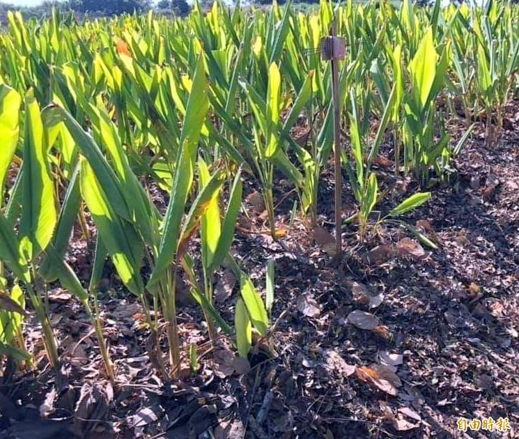 南投縣名間鄉「博士農夫」謝瑞裕的薑黃因覆蓋落葉後,生長得更加良好。(記者謝介裕攝)