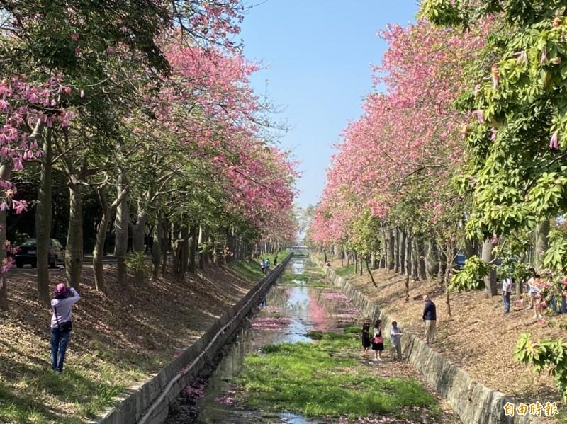 虎尾鎮建成路的美人樹正盛開,吸引大批民眾前往取景。(記者詹士弘攝)
