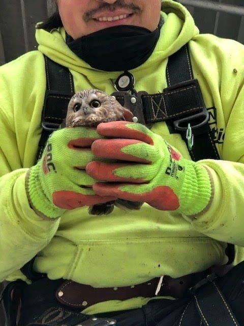 這隻「被搬家」的棕櫚鬼鴞目前已經送往專業單位照護,情況良好。(路透)