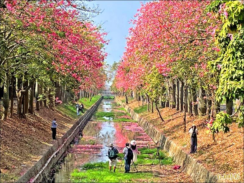 虎尾鎮建成路兩側綿延約2公里美人樹(又稱美人櫻)盛開,粉紅花朵倒影在排水溝流水,景致美麗又漂亮,吸引民眾拍照打卡。(記者林國賢攝)