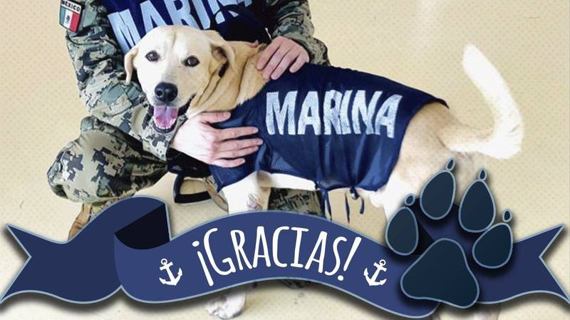 這隻拉不拉多犬現在已經成為海軍的一員,未來將培育成搜救犬。(圖取自「Secretaría de Marina」臉書)