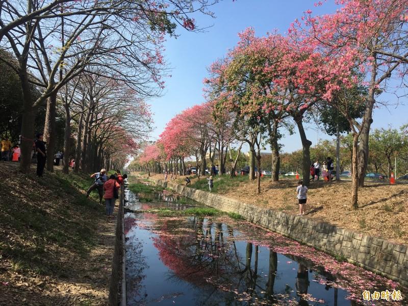 虎尾建成路綿延2公里的美人樹花海,目前花朵盛開因此又被稱為台版櫻花大道。(記者黃淑莉攝)