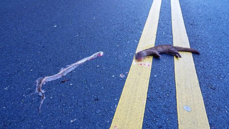 玉山國家公園附近又出現路殺,先是一條蛇遭車輾斃,接著來吃蛇屍的黃鼠狼,疑似反應不及也遭路殺爆頭,形成「二次路殺」。(玉管處提供)