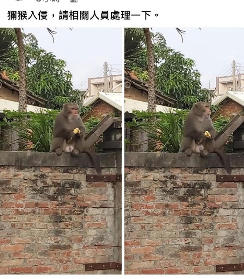 元長的猴子剛被誘捕成功,土庫馬光又出現流浪猴。(翻攝自臉書)