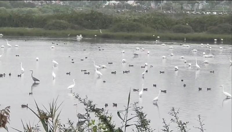 鳥友郭東輝在台南大港觀海橋旁的社區魚塭,發現數以千計的水鳥聚集,包括上百隻的黑面琵鷺。(圖由郭東輝提供)
