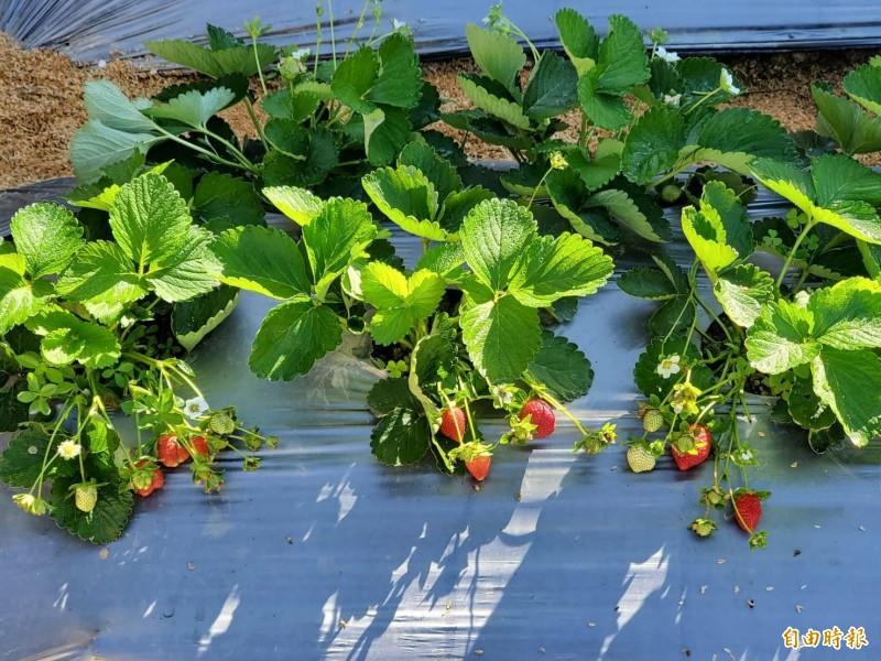 採果季來臨,大湖草莓上市了。(記者蔡政珉攝)