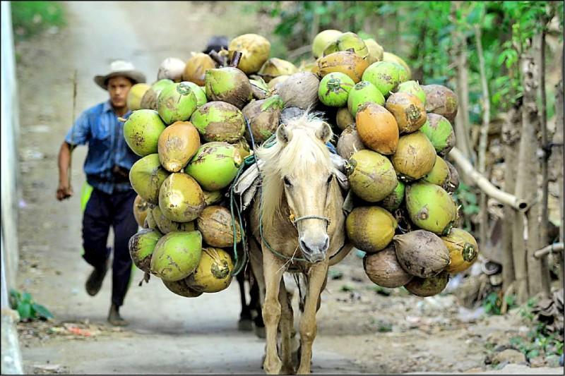 共體時艱,印尼學院允許學生以椰子付學費。(路透檔案照)