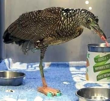 特生野生動物急救站就受傷的黑冠麻鷺穿上「泡棉鞋」情形。(資料照,特生野生動物急救站提供)