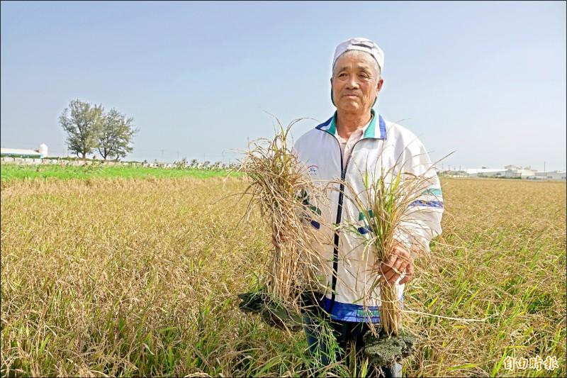 鹿港愛心「白米伯」施性祺在西濱快速道路旁所種的二期稻作嚴重「失收」,稻作如同枯草。(記者劉曉欣攝)