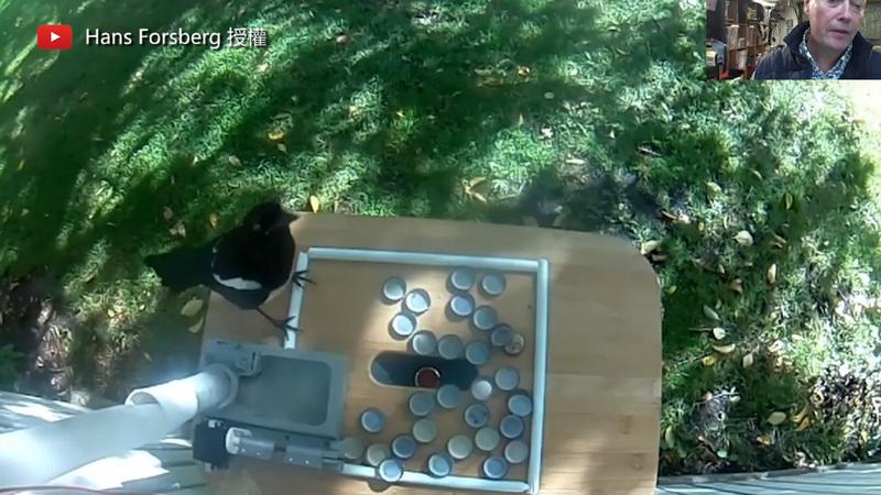 瑞典工程師Hans Forsberg一步一步的訓練喜鵲撿廢棄瓶蓋。(圖片由Youtube頻道Hans Forsberg授權提供使用)