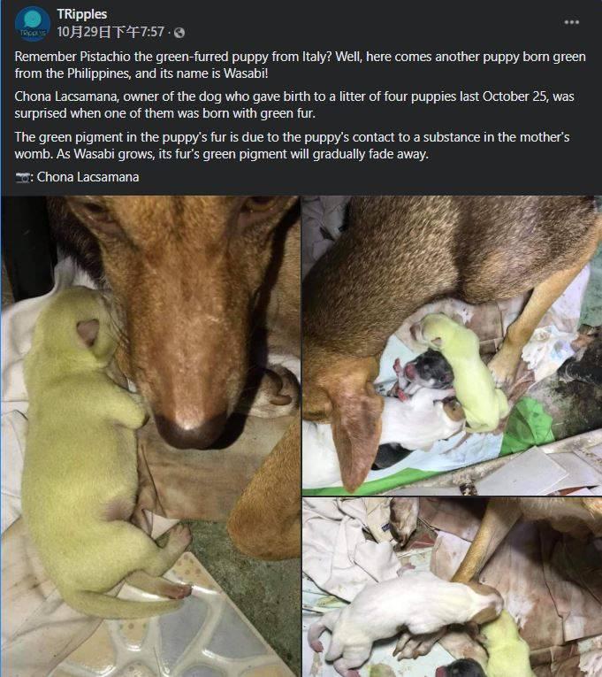 菲律賓一窩新生的幼犬中出現一隻淺綠色的小狗,彷彿動畫「茶犬」的角色翻版。(圖片擷取自臉書/TRipples)