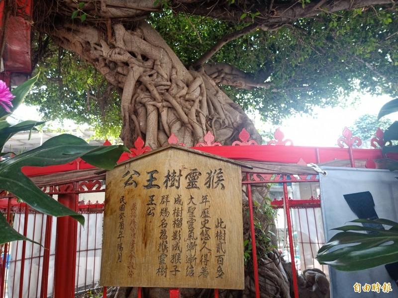 萬福庵廟埕前逾200年的「猴靈樹王公」。(記者王姝琇攝)