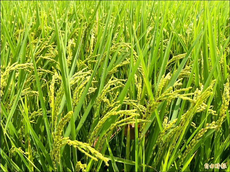 嘉義縣一期稻作輪灌區近8000公頃明年停灌。(記者蔡宗勳攝)