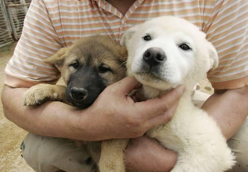 珍島犬為南韓國犬,原生長在全羅南道珍島郡的特殊地理環境的純種犬種,並於2005年獲英國育犬協會的正式登記,列入了世界級名犬的行列。示意圖,與本文無關。(路透)