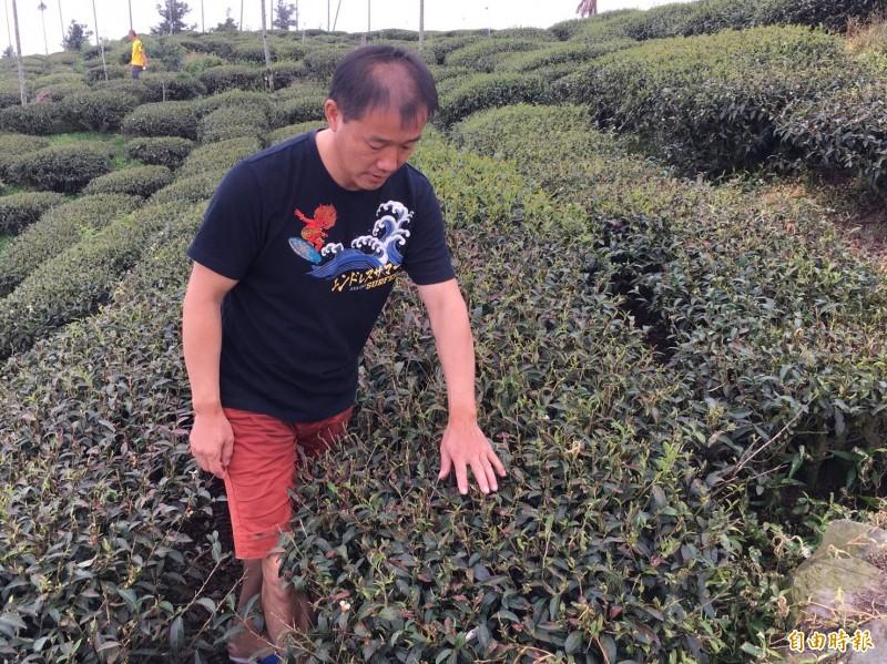 賴姓茶農茶園的冬片茶再半個月可採收,卻遭人噴灑除草劑,一大片都不能採收。(記者黃淑莉攝)