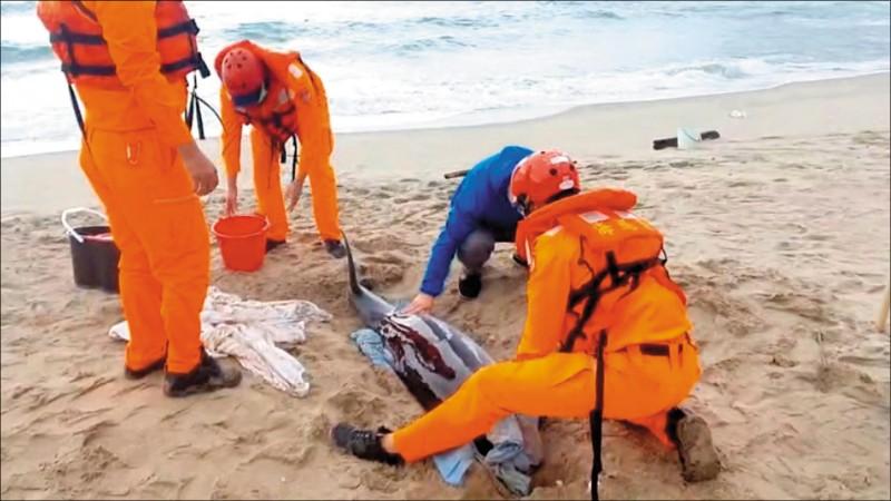 海巡署官兵帶著毛毯包覆鯨豚、再適時澆海水保濕。(海巡署提供)
