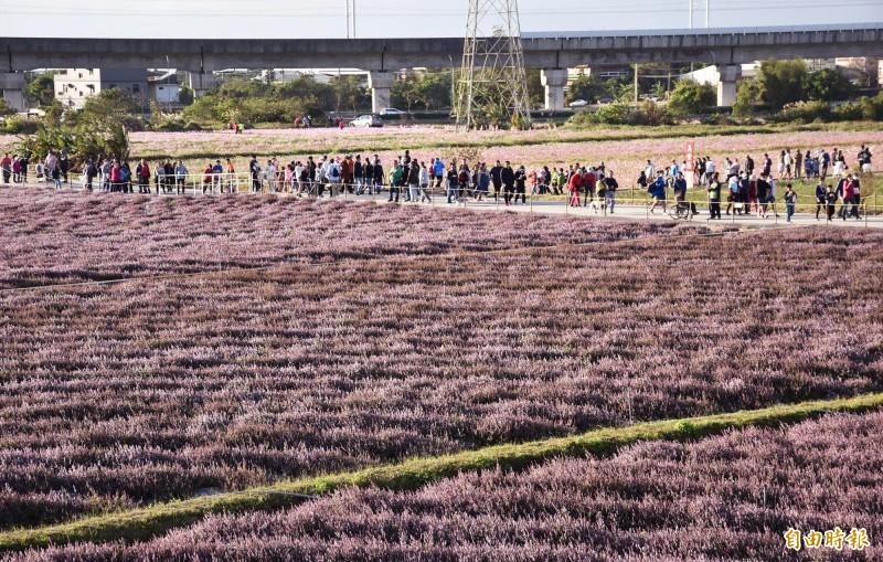 桃園仙草花節紫色浪潮大爆棚,仙草花田滿滿參觀、拍照人潮。((記者李容萍攝)