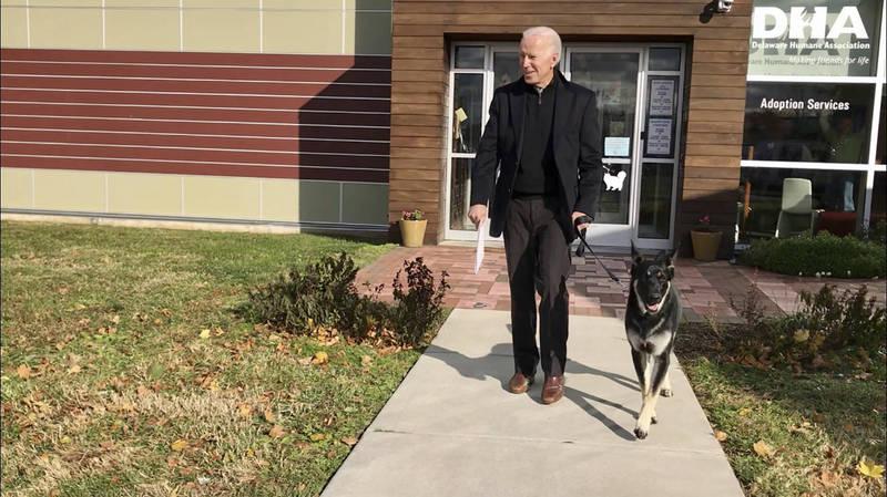 78歲的美國總統推定當選人拜登傳出扭傷腳踝,起因則是在與他領養的德國牧羊犬「梅傑(見圖)」玩耍時受傷。(美聯社)